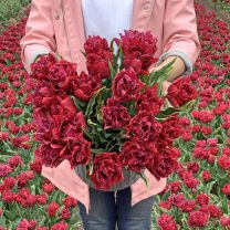 Tulip Cranberry Tristle