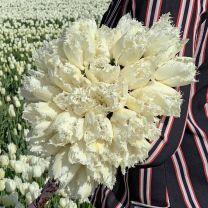 Fringed white tulip Noordeinde