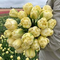 Double tulips Yukon