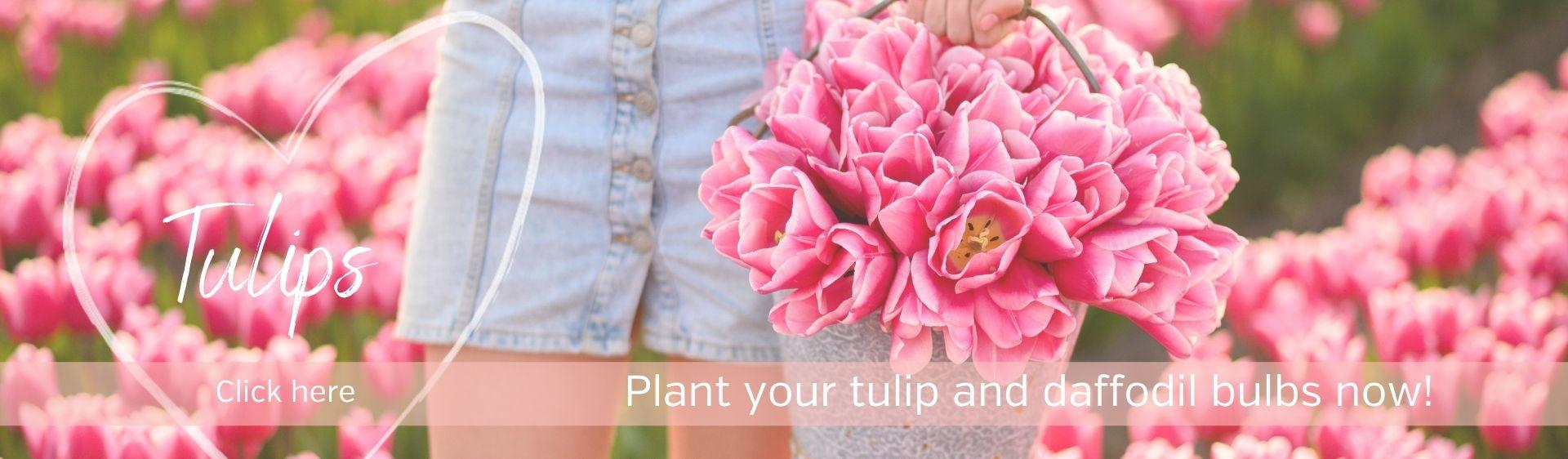 Tulips bulbs from our farm